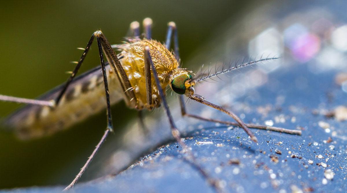 mosquito adult