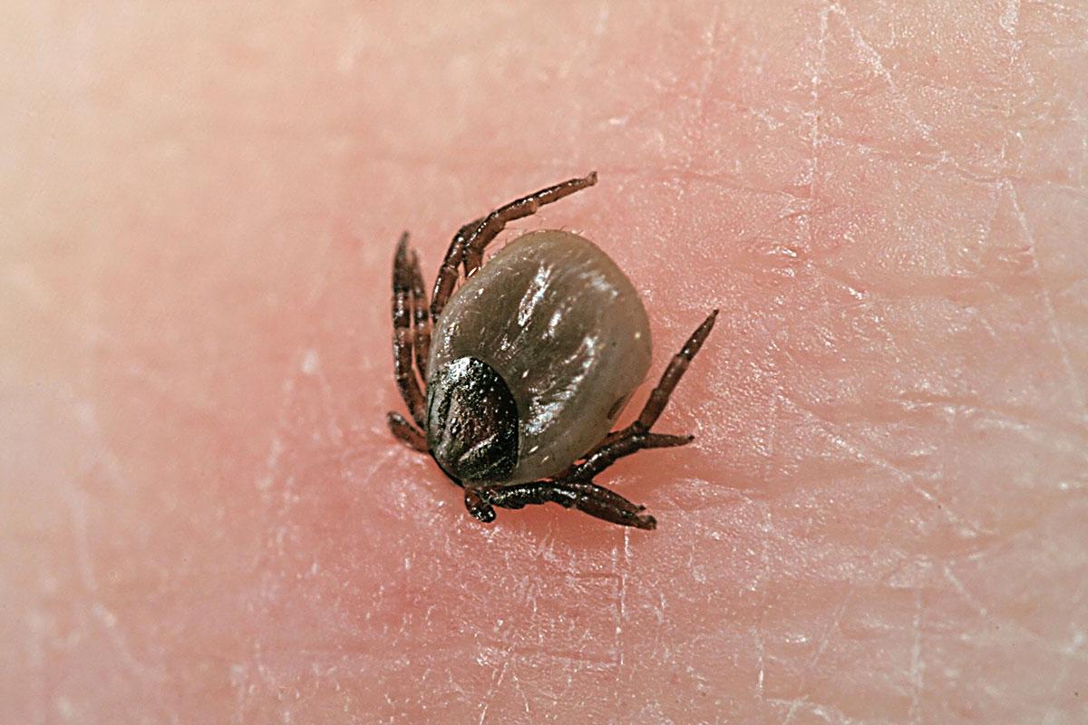 biting tick