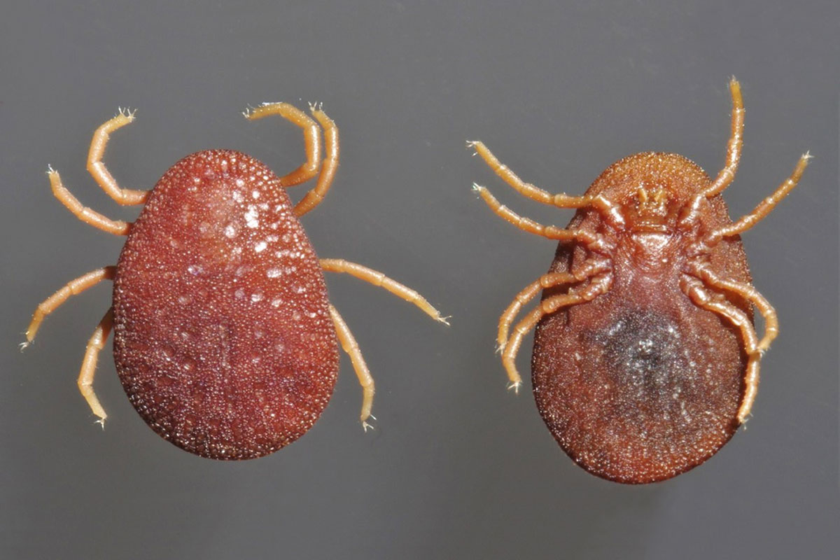 Poultry Tick