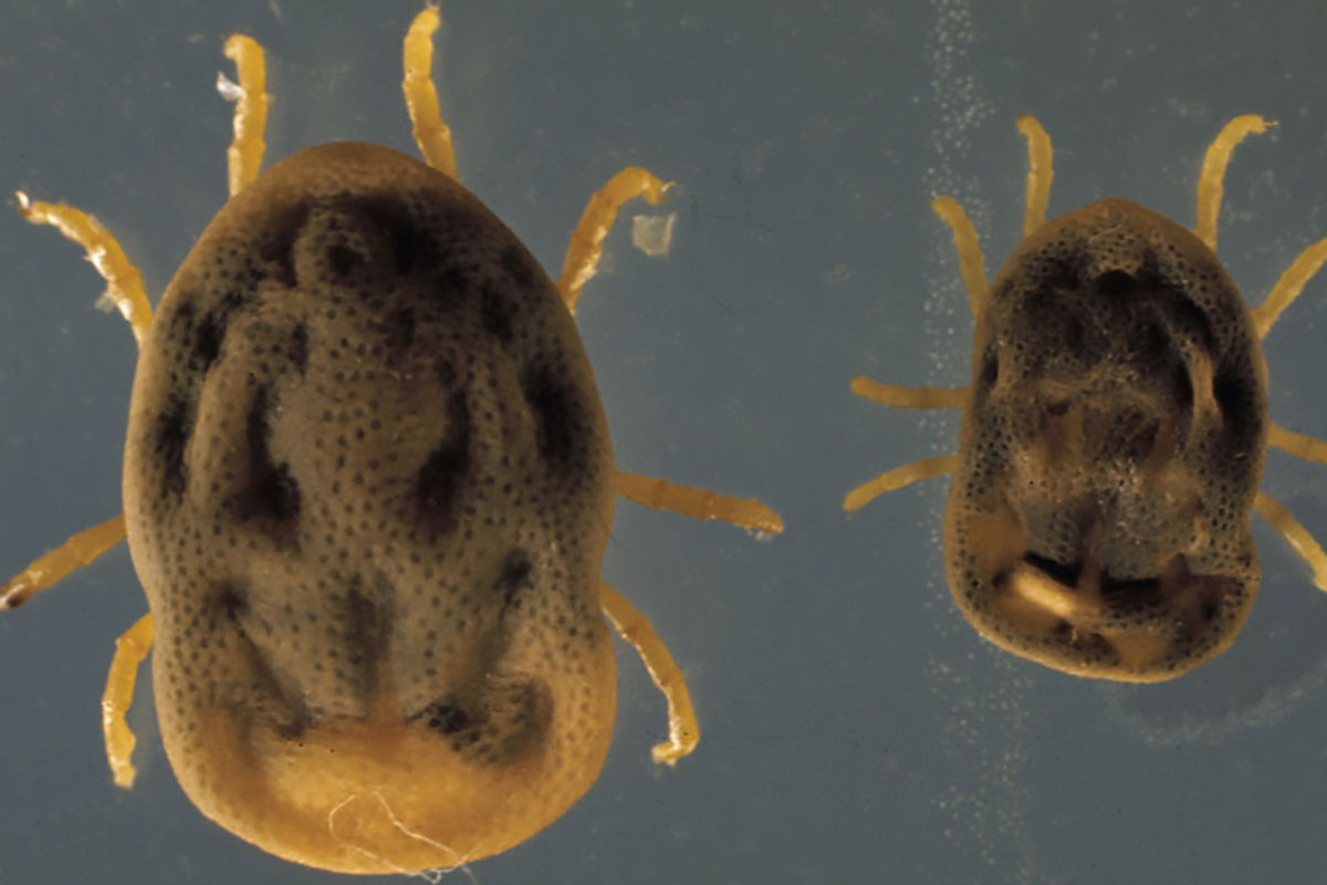 Spinose Ear Tick